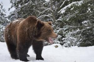 Бурий ведмідь. Фото: zakarpattya.net.ua/Ілюстративне фото