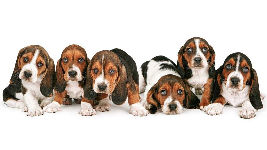 1481393286_basset-hound-dog-photo-5