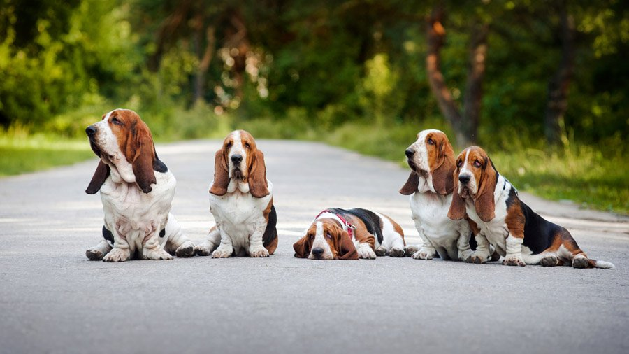 1481393319_basset-hound-dog-photo-6