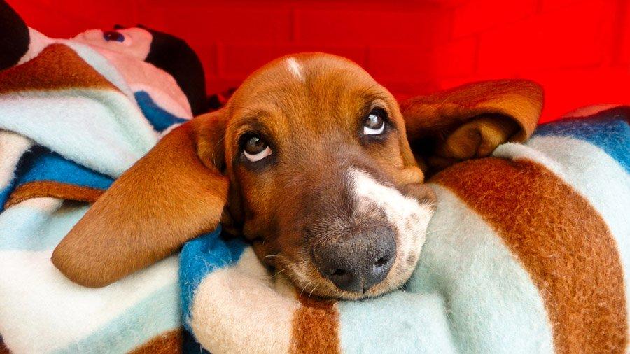 1481393339_basset-hound-dog-photo-8