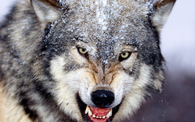 На Рівненщині вполювали 48 вовків