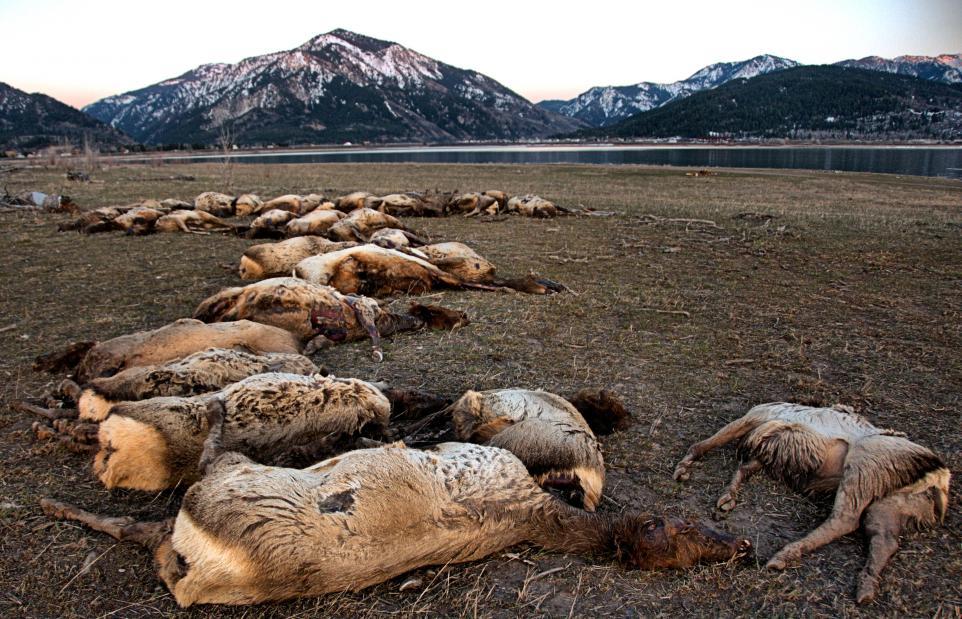 Лід вбив 31 лося