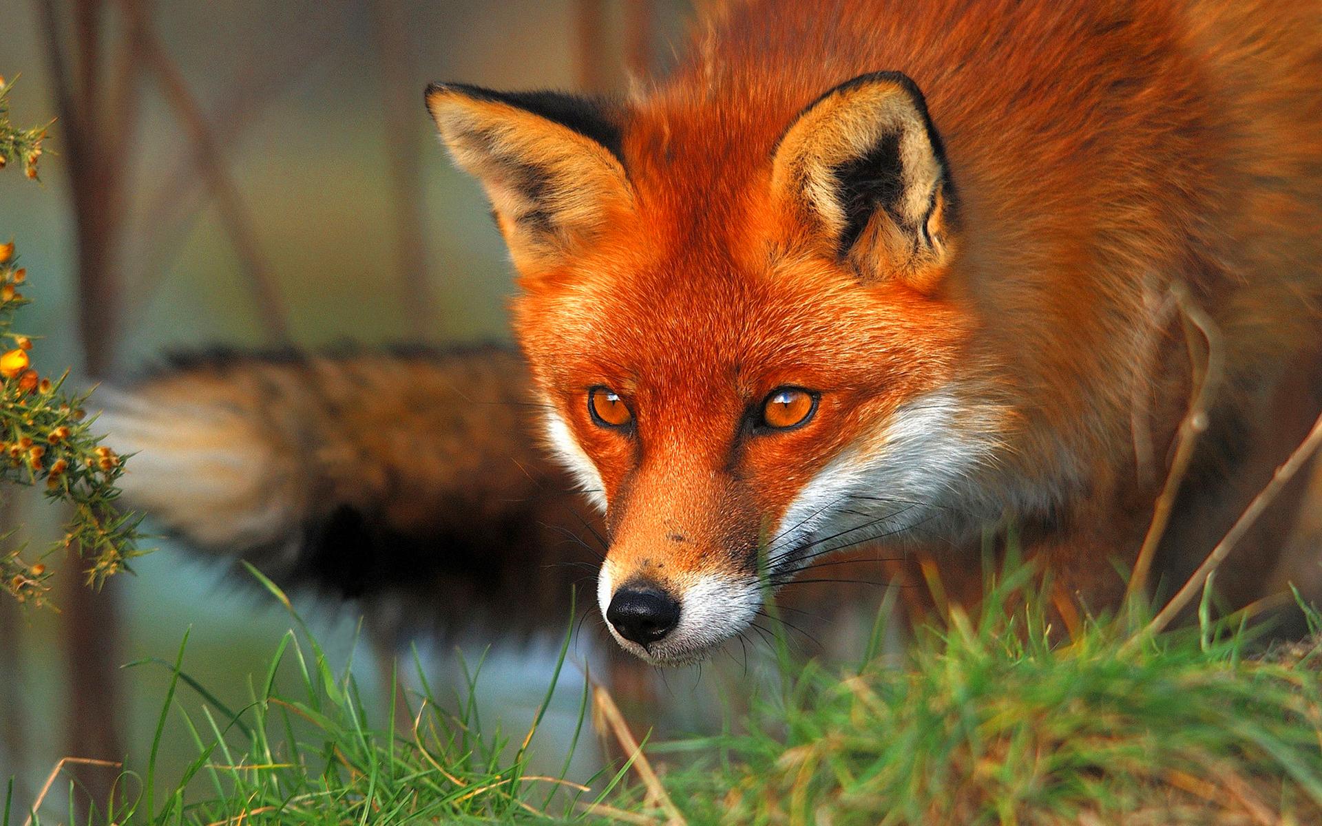 Популяція лисиці в Подільських Товтрах перевищує норму у 16 разів, депутати просять дозволу на відстріл