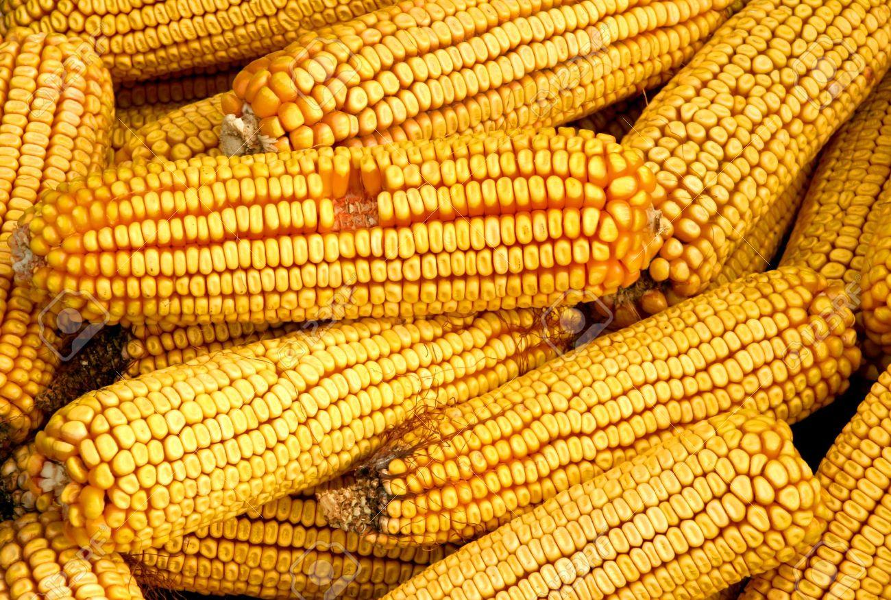 704573-dried-corn-on-the-cob-stock-photo