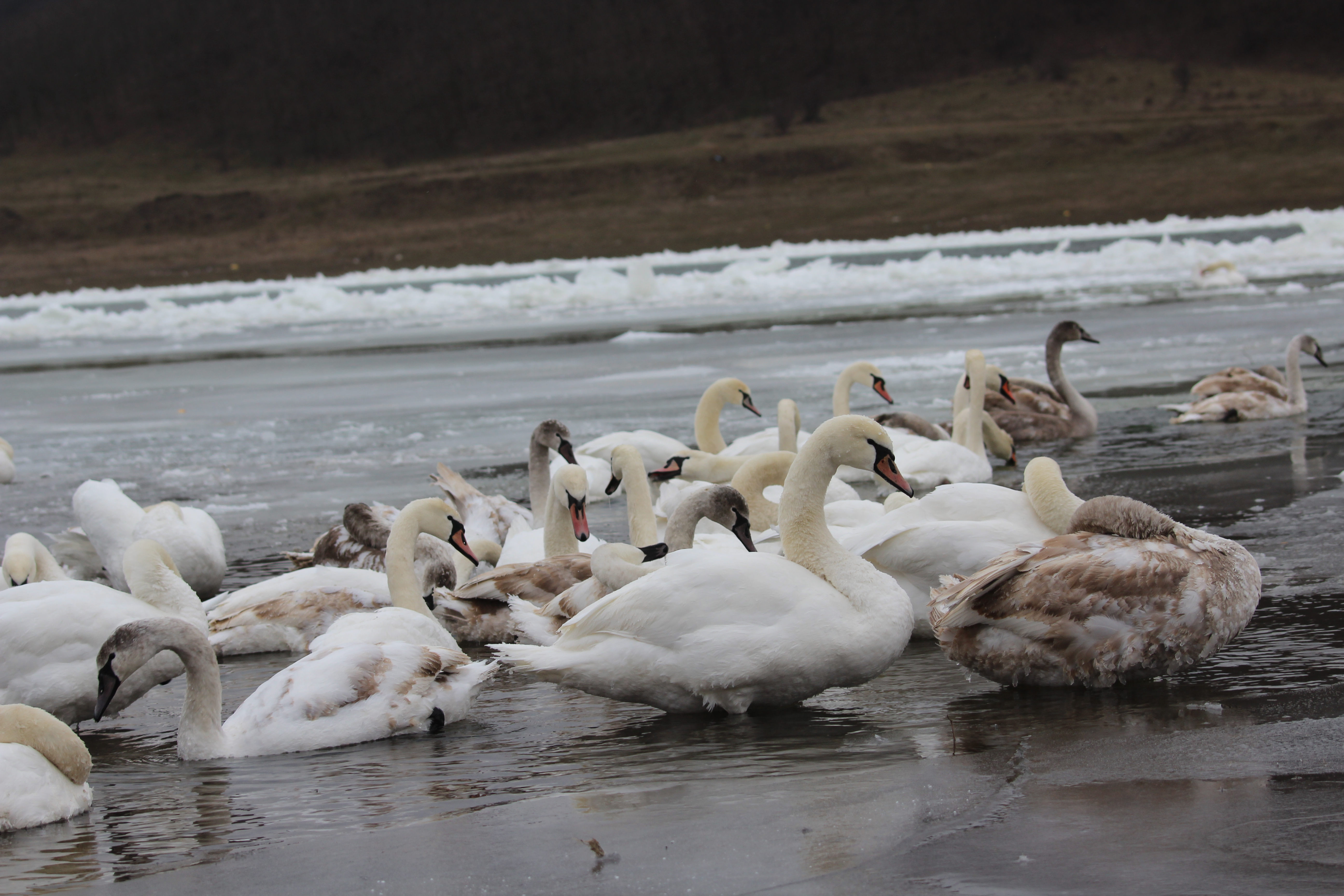 Близько 300 лебедів оселилися на річці Дністер, для них відкрили ветеринарно-медичний пункт