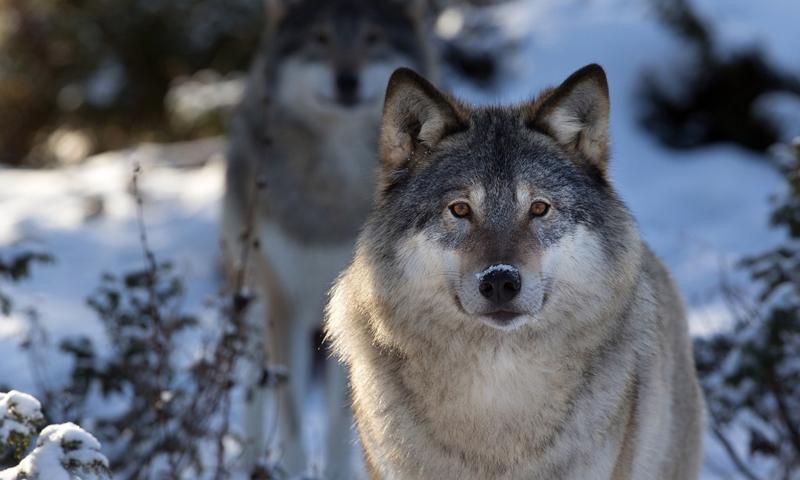 Чисельність та проблеми регулювання поголів'я вовка у мисливських угіддях