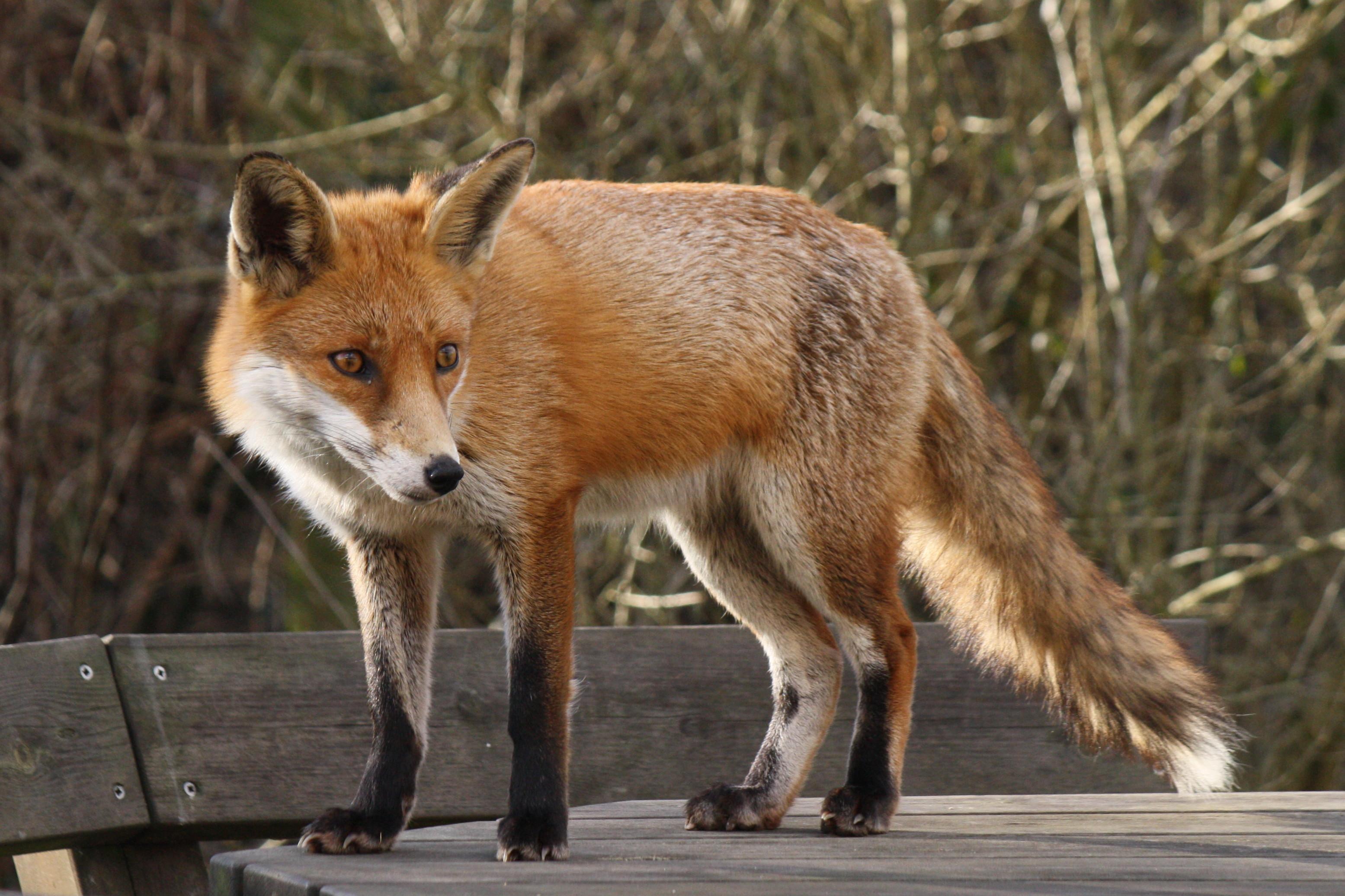 Лисицю, в якої підозрюють сказ, застрелили у Чернівцях
