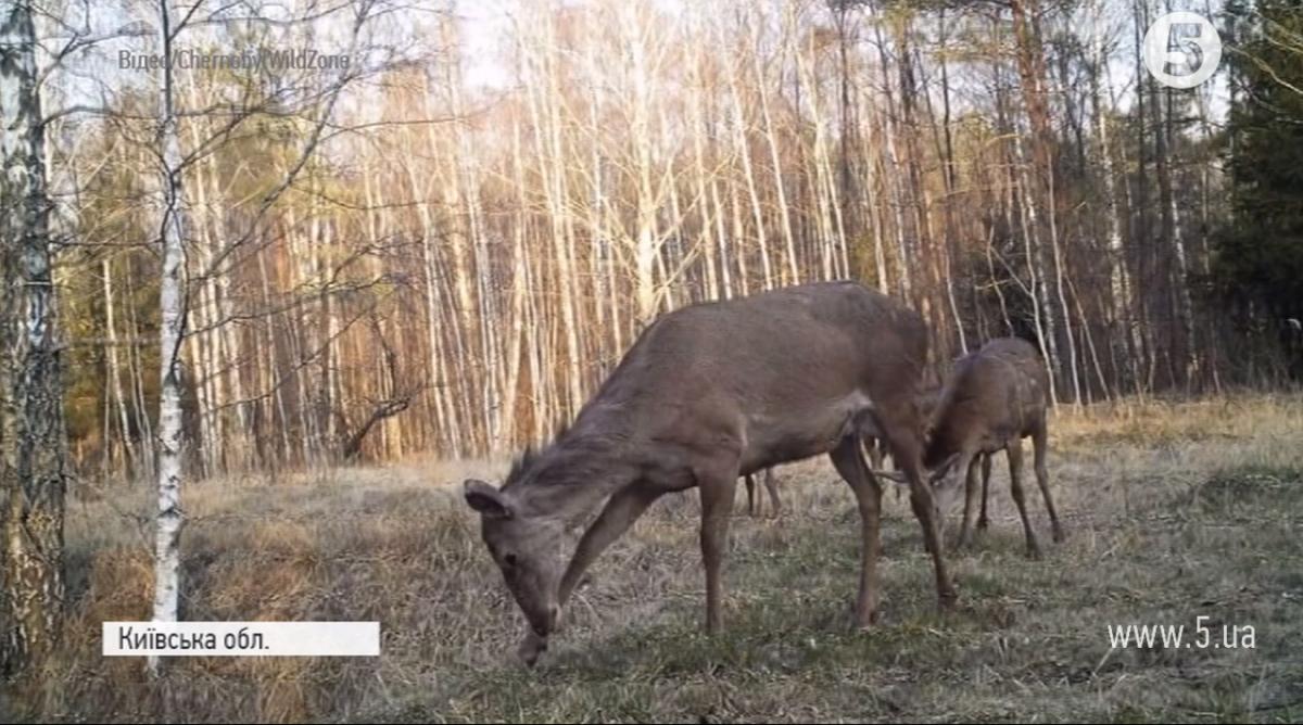 Тварини з помітними мутаціями поблизу Чорнобиля зустрічаються рідко – науковці