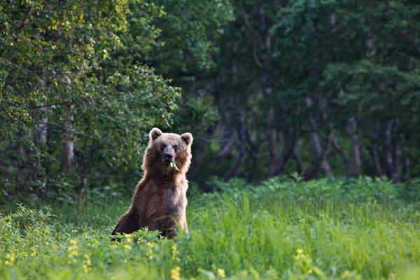 Що робити при зустрічі з ведмедем: поради бувалих мисливців