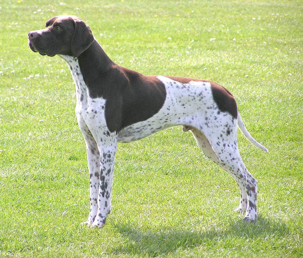 Мисливська собака пойнтер: особливості породи, утримання і догляд, дресирування і натаска