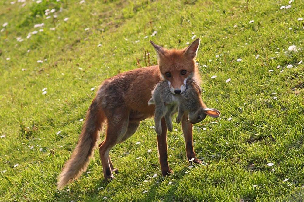 Основні фактори полювання на лисиць з норними собаками