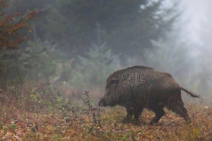 У трьох районах Закарпаття у диких кабанів виявили АЧС (ВІДЕО)