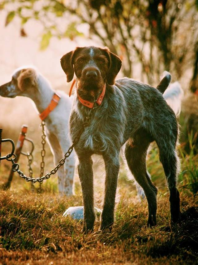 Як ввезти на митну територію України мисливську собаку із-за кордону?
