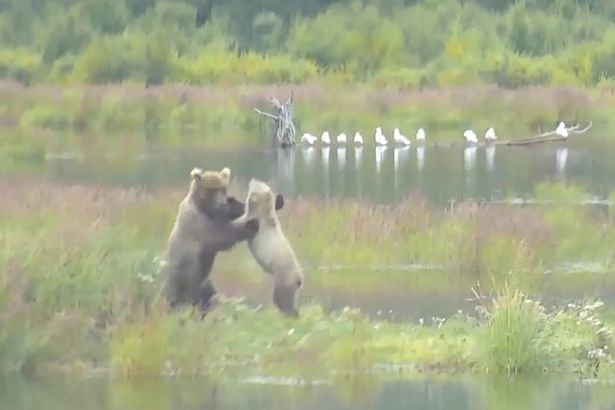 Google-Earth-Live-Exploreorg-invites-you-to-hang-out-with-Alaskan-Brown-Bears