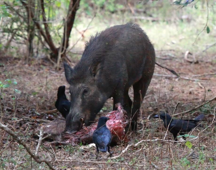 Кабани-м'ясоїди і в кровожерливості не поступаються навіть вовкам