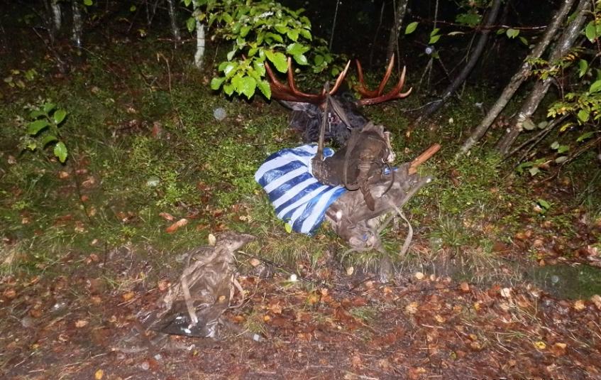 Не чекають дозволу і затвердження лімітів:  браконьєри на Волині вполювали лося