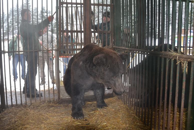 Бурий, Боря та Дженіфер оселилися в Реабілітаційному центрі бурих ведмедів НПП «Синевир»