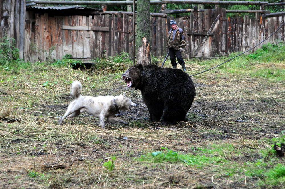 1475574693-7907-pritravka-medved