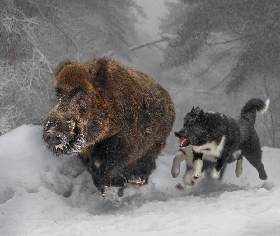 притравка мисливських собак