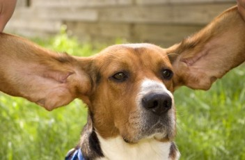 1481393233_basset-hound-dog-photo-4