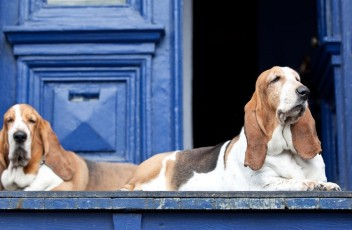 1481393254_basset-hound-dog-photo-3