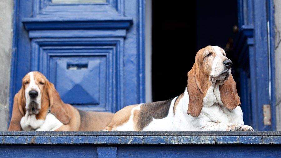 1481393254_basset-hound-dog-photo-3