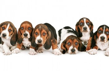 1481393286_basset-hound-dog-photo-5