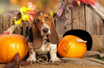 1481393316_basset-hound-dog-photo-7