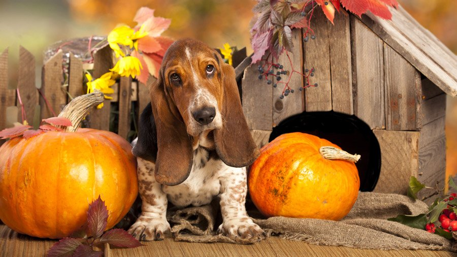 1481393316_basset-hound-dog-photo-7