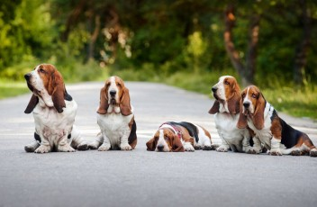 1481393319_basset-hound-dog-photo-6
