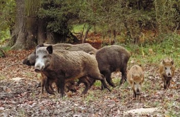 wild-boars-in-Italy