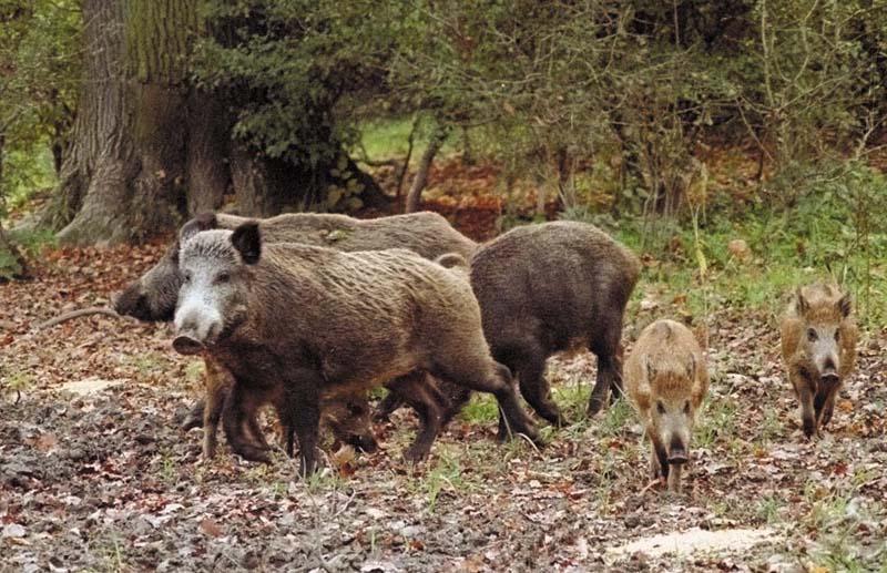wild-boars-in-Italy