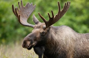 moose-2
