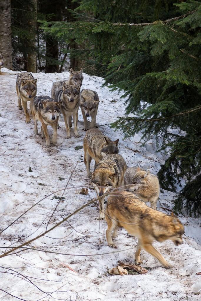 Female Lone Wolf_ — Strolling pack by Nicolas Grevet