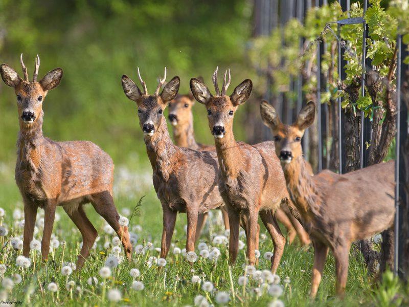 В Закарпатті одне з лісомисливських господарств повідомляє про відкриття сезону полювання на самця козулі